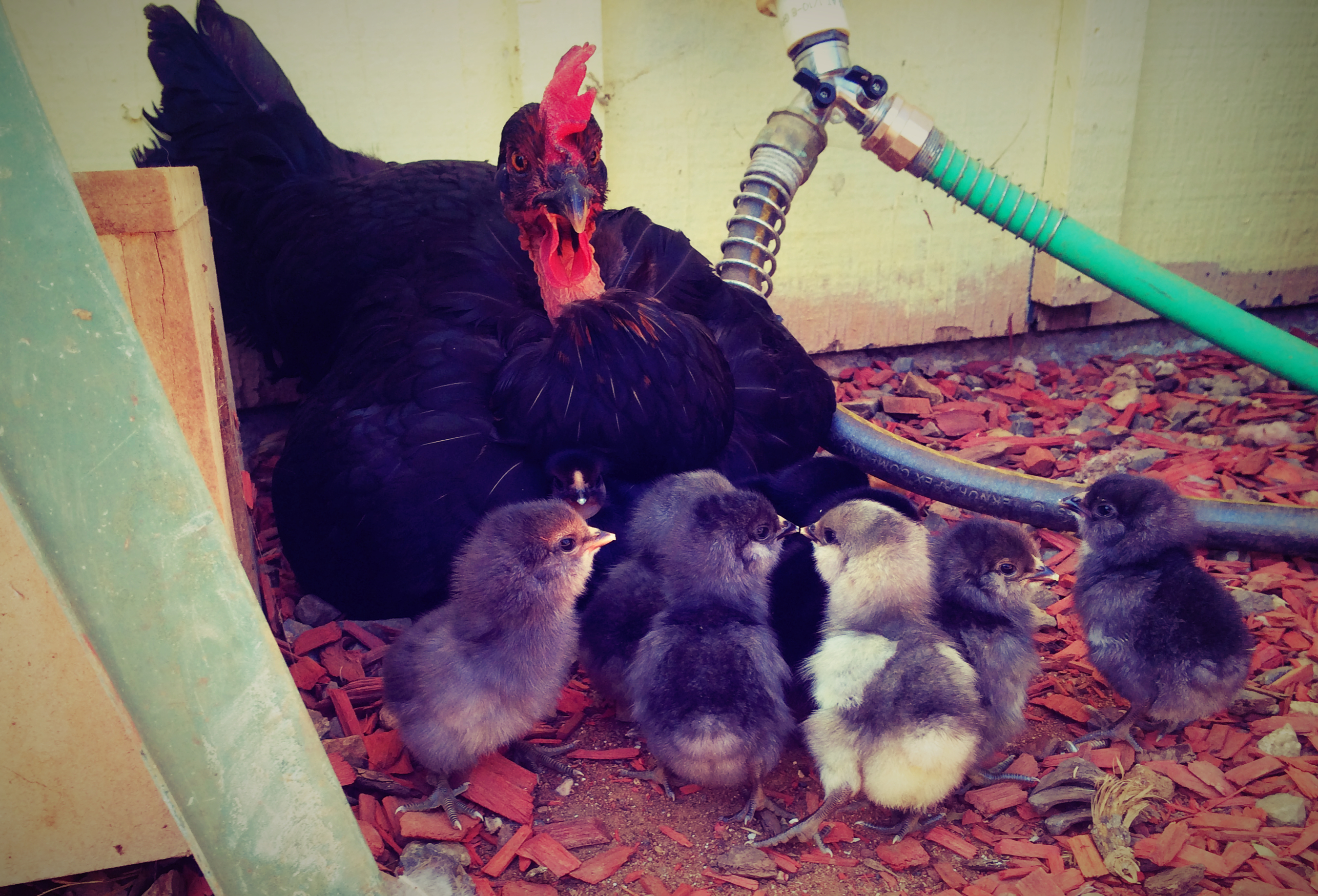 Speaking of eggcelent mothers, the Spanish hen is still taking immaculate  care of her 5 ducklings. They're growing like weeds! I took this adorable  video of ...